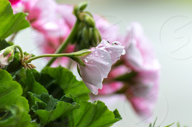 Raindrop Geraniums  photo