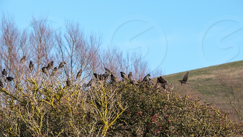 Flock of Starlings on a tree at Southease in East Sussex photo