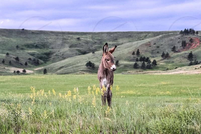 Baby wild donkey The Badlands South Dakota. photo