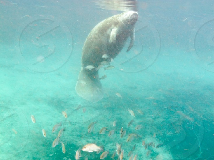 Manatee or Sea Cow Trichechus manatus marine mammal submerged underwater with fish in warm water of Florida spring USA photo