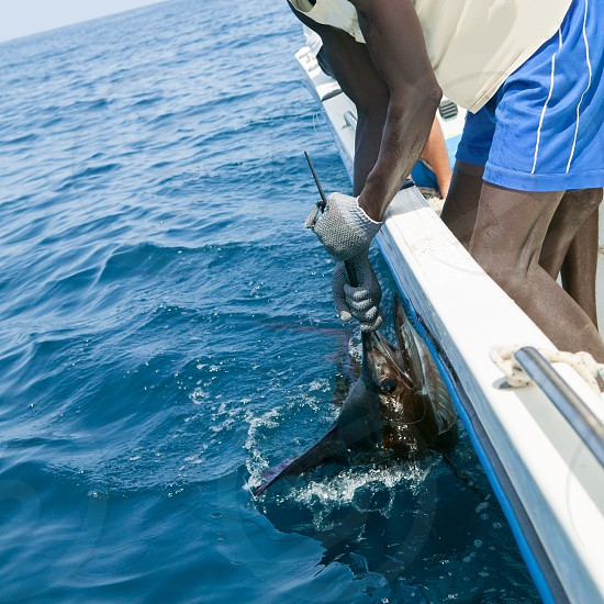 Sailfish catch billfish sportfishing holding bill with hands and gloves photo
