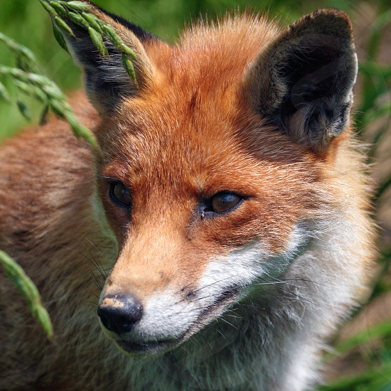 Close-up of a Red Fox (Vulpes vulpes) photo