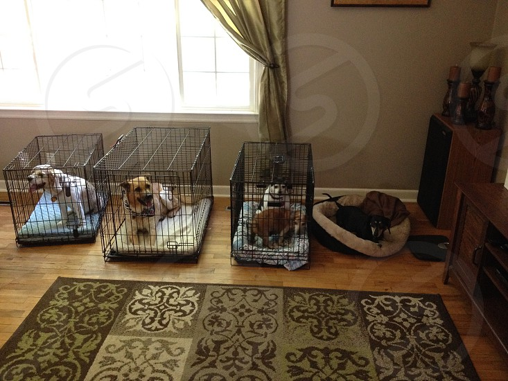 Dogs in there crates at rental home photo