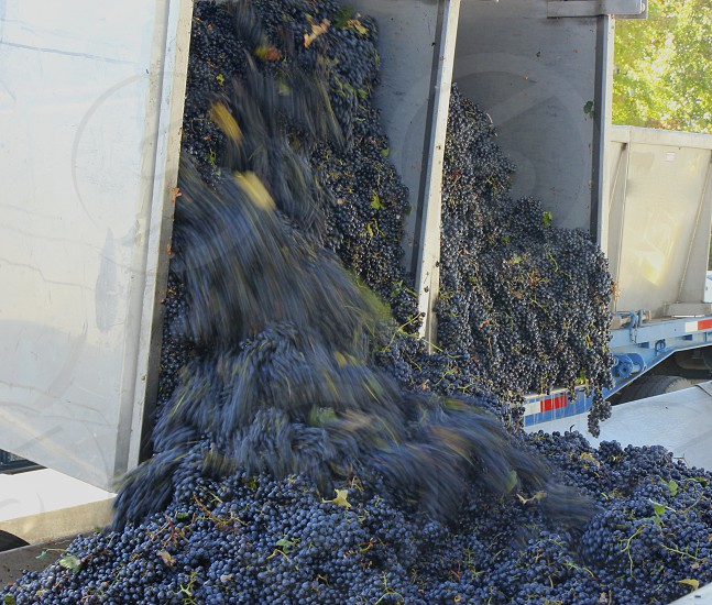 Delivering grapes to the winery photo