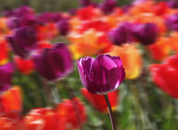 Purple red yellow tulip field photo