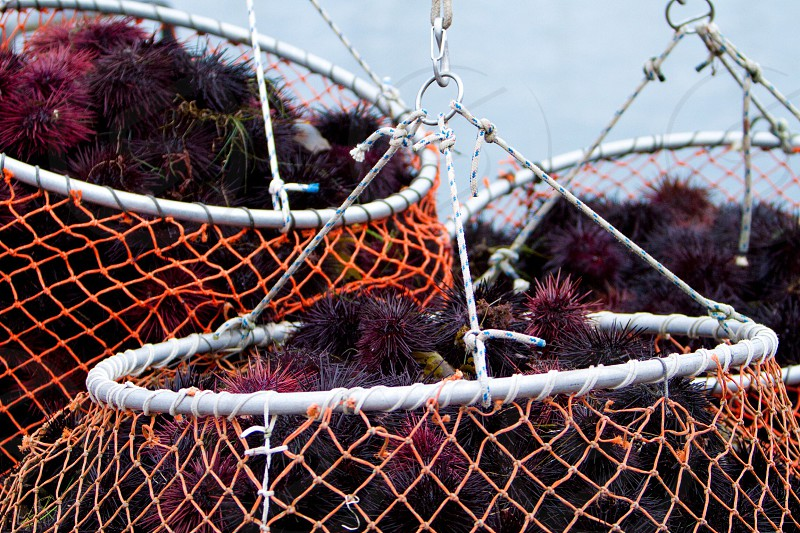 orange fish nets with sear urchin photo