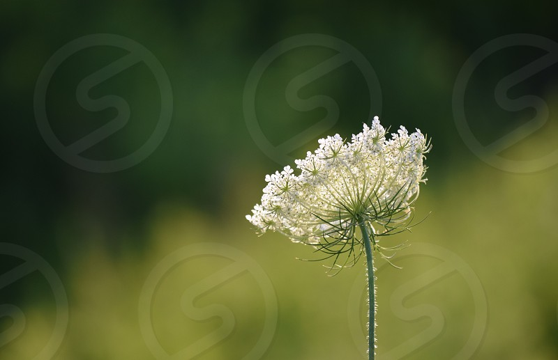 Queen Anne's Lace green nature delicate nature flowers sunshine summer intricate fragile soft photo