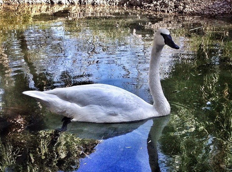 Swan by the Zoo photo