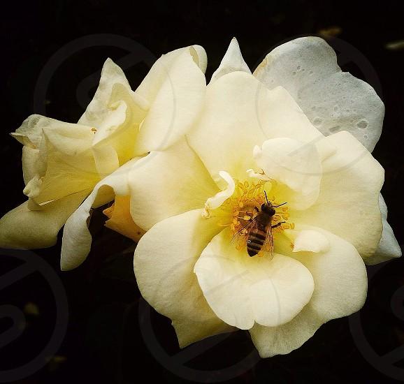 honeybee on flower photo