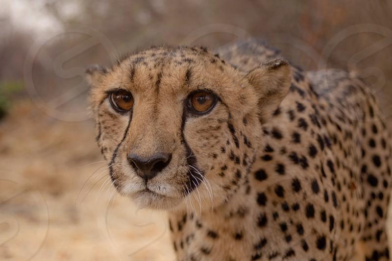animal encounter: wild cheetah photo