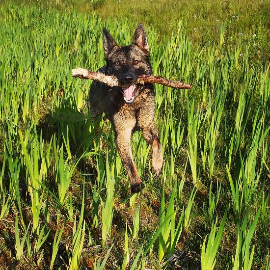 happy german shepherd. stick fun dog run park photo