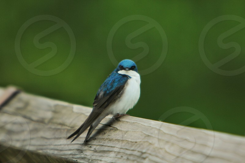 tree swallow blue bird striking color photo
