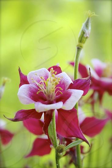 Close up Columbine flower in sunlight. photo