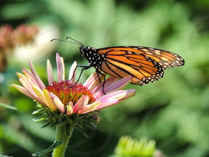 Monarch Butterfly on a flower photo