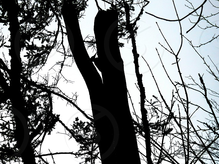 Wooded home to the pileated woodpecker in silhouette. photo