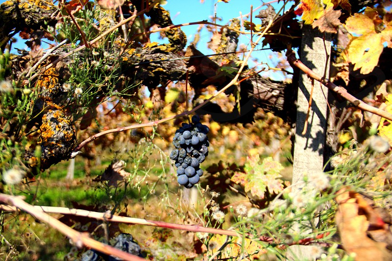 Grapes on older grapevine photo