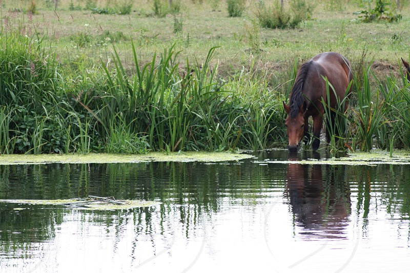 reflection of a horse on a river photo
