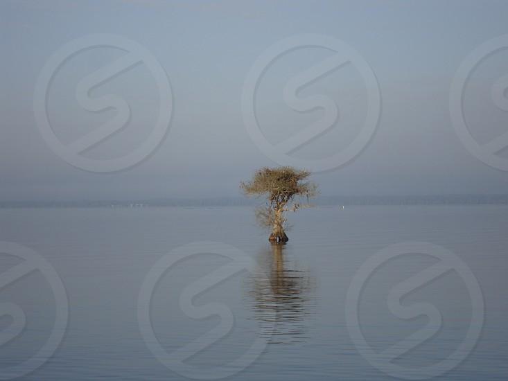 lone cypress photo