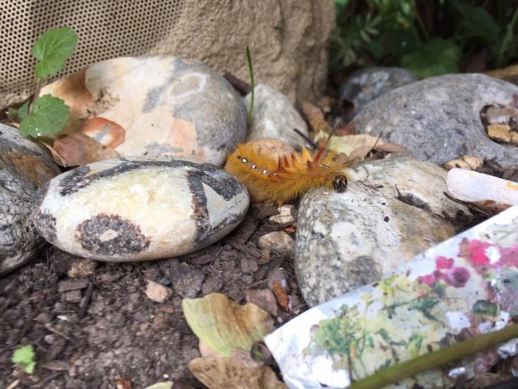Caterpillar on the rocks (well stones really) photo