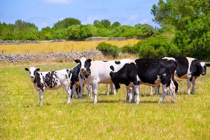 Menorca Friesian cow cattle grazing in green meadow at Balearic Islands of Spain photo