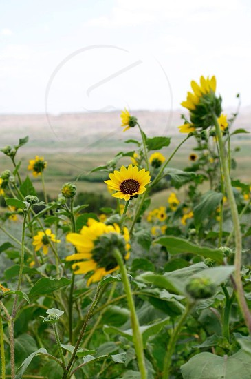 view of sunflower plant photo
