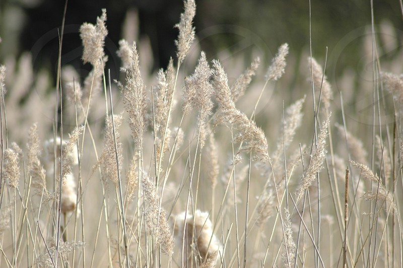 autumn backgrounds brown dry flora grain grass grassland grow horizon landscape leaves light long looking meadow monochrome natural nature plant reed repeat repetition top upwards water white wind windy photo