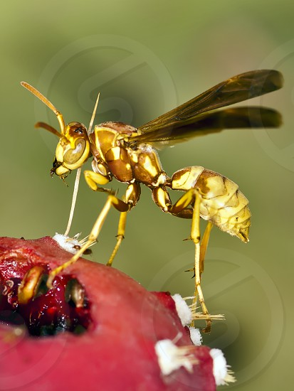 A species of Wasp native to Arizona perched on the fallen fruit of a Prickly Pear Cactus. photo