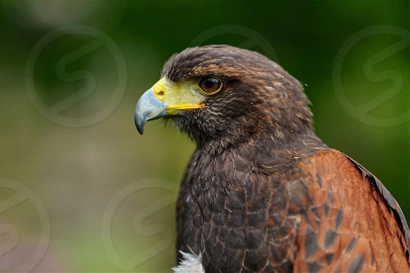Harris Hawk Portrait photo
