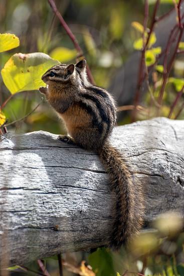 Uinta Chipmunk (Neotamias umbrinus fremonti) photo