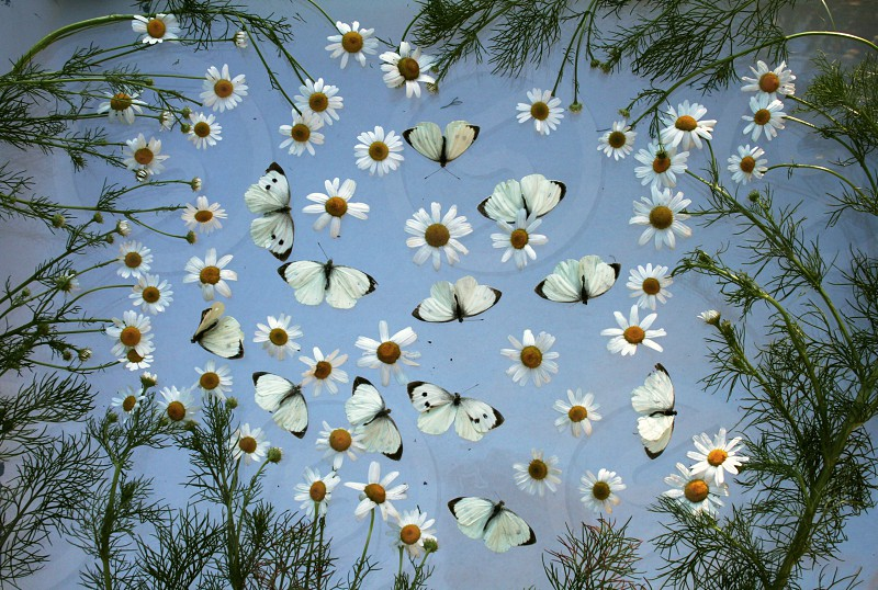 Camomiles and butterflies photo