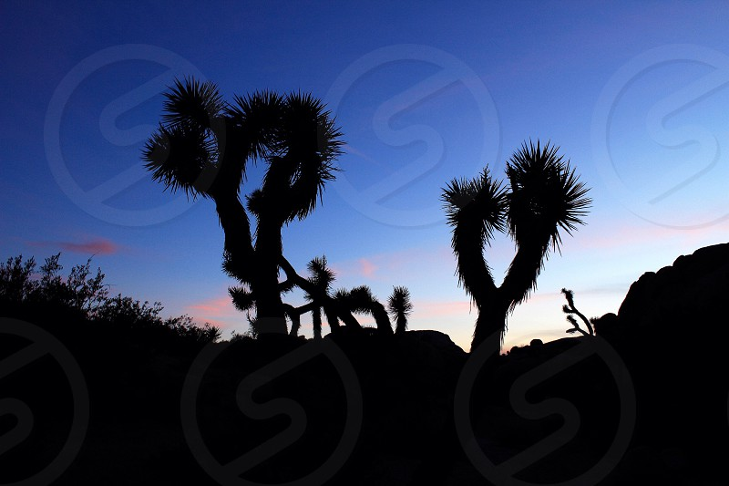 Cactus Joshua tree national park sunset landscape color trees camping hiking desert horizon beautiful beauty California SoCal Cali night  photo