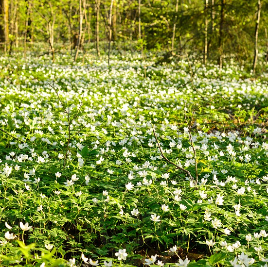 Small white flowers in a forest photo