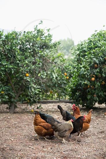 Free range hens in a backyard homestead farm photo