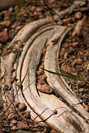 Crescent Exposed Root photo