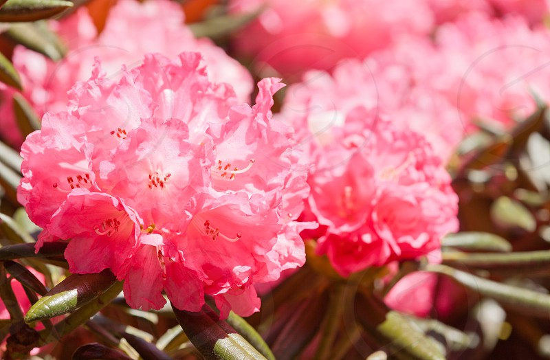Rhododendron Noyo Brave blooming in spring photo