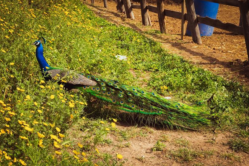 Peacock in the farm. photo