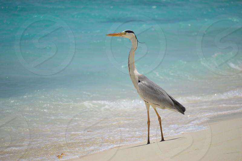 Grey Heron Kuramathi The Maldives photo