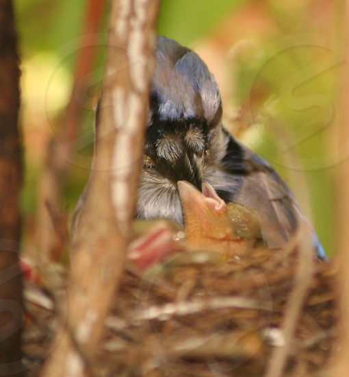 Blue-jay with baby photo