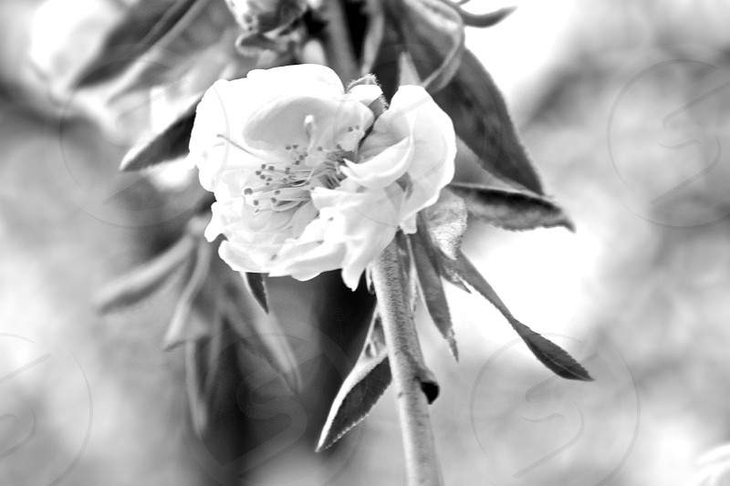 BWProject3.5 Flower  photo