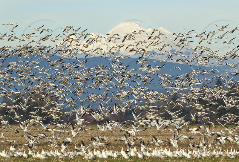 For a few months every winter migrating Snow Geese stop off in the Skagit Valley of Washington State. photo