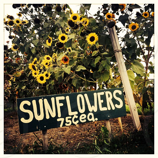 Sunflowers Sign in Field with Sunflowers photo