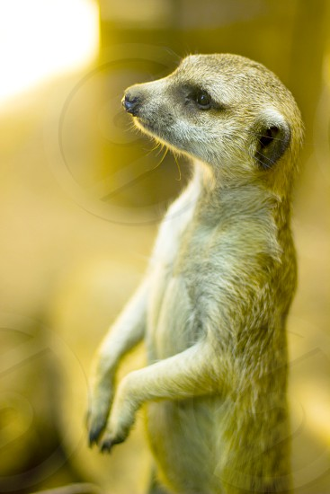 selective focus photography of standing Meerkat facing right side photo