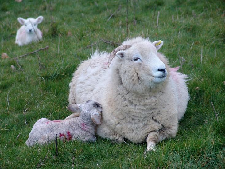 Sheep ewe lamb  photo