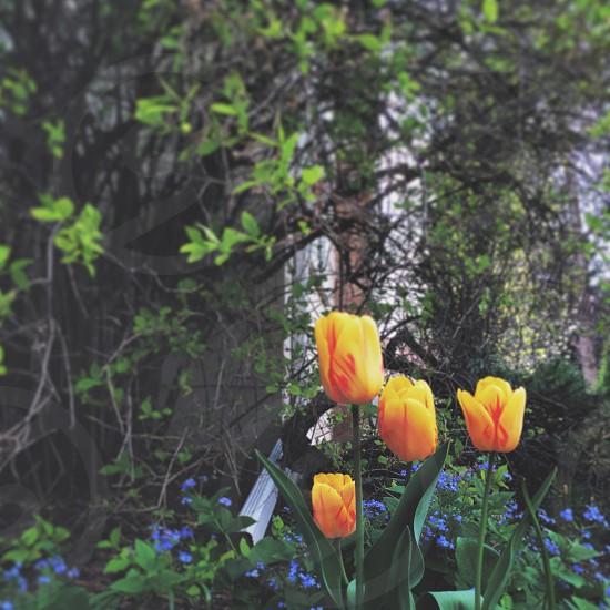 Tulips 💕 photo