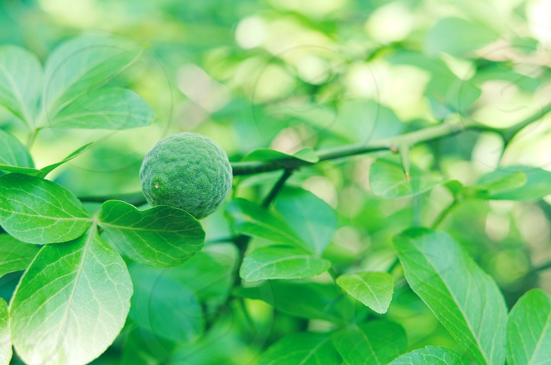 agriculture asia background beautiful branch bur canopy china citrus close-up closeup crude day exotic flora floral foliage food fresh fruit garden green healthy immature leaf leaves lemon life natural nature orange organic outdoors plant poncitrus prickle raw rutaceae season spike thorn tree trifoliata tropical underripe unripe white wild wood young  photo