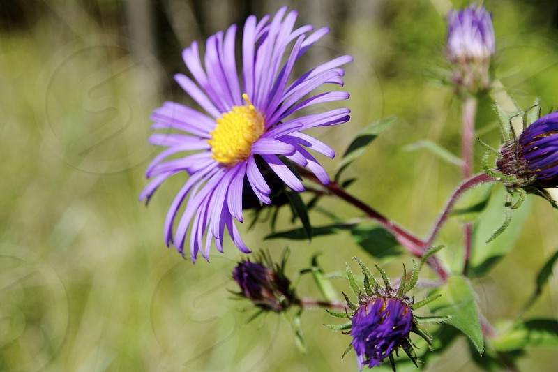 Just a simple pretty purple flower on a beautiful summer day.  photo