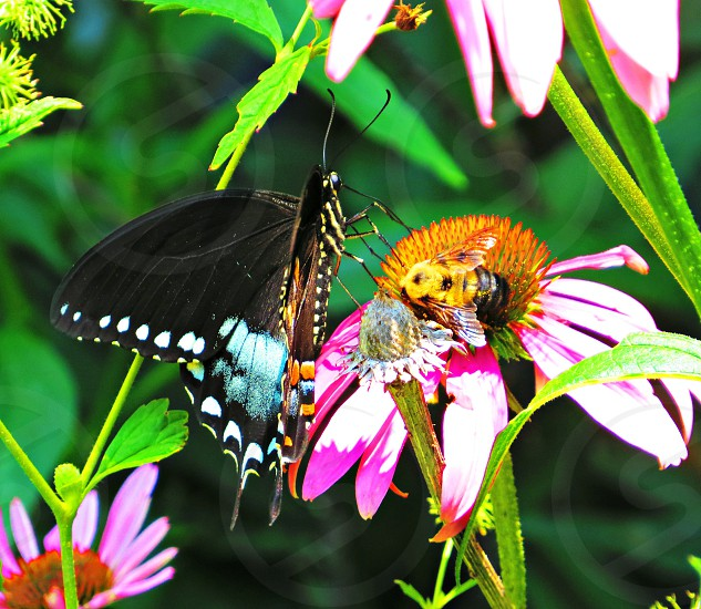 Butterfly and bumble bee on purple cone flower photo