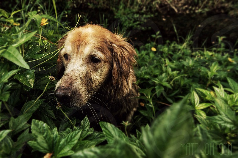 My golden retriever sailor curiously looking through the wild flowers in a stream  photo