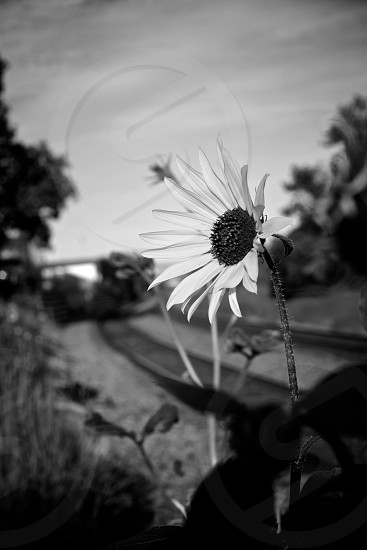 Black and white Fine Art Title:The Daisy photo