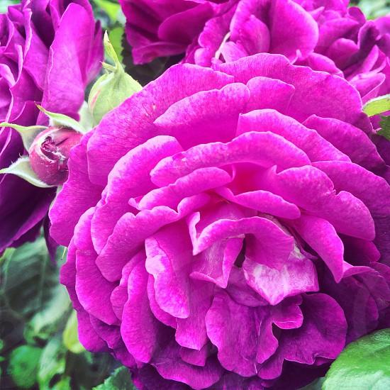 purple flower summer photography photo